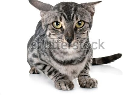Stock Photo Bengal Cat In Front Of White Background Buy Pets