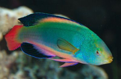 Scott S Fairy Wrasse Beautiful Sea Creatures Underwater Animals Ocean Creatures