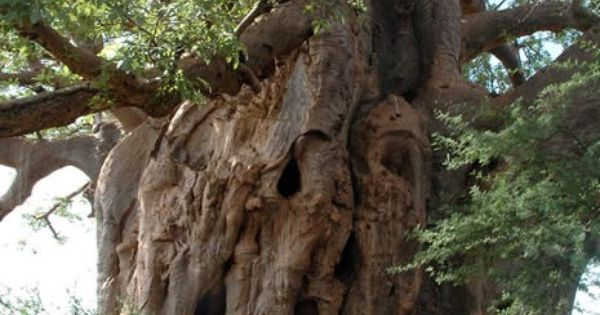 Baobab Tree- saw one in Jamaica- beautiful!! | for the ...