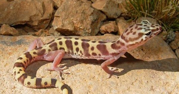 Reptile Facts Astronomy To Zoology Western Banded Gecko Desert Lizards Desert Animals Reptiles