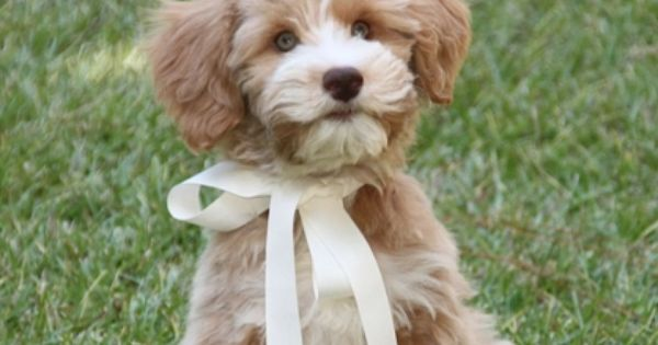 Schnoodle Baby Schnoodle Dog Schnoodle Puppy Dogs