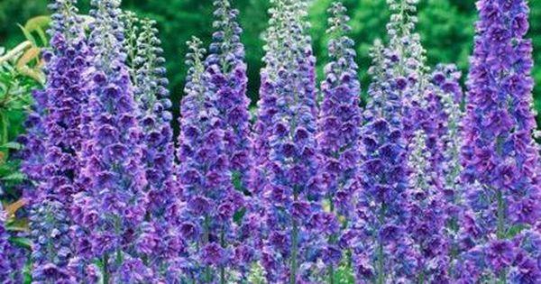 English Cottage Garden Flowers Delphiniums Purple Flowers Garden Delphinium English Cottage Garden