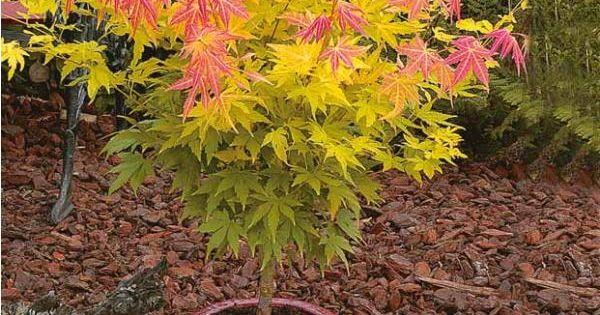 Erable du japon 39 orange dream 39 flower basket love - Erable du japon orange dream ...