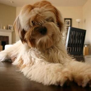 Tibetan Terrier They Re Like Big Non Shedding Cuddle Bears I