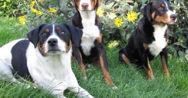 Appenzeller Varianten Klassischer Trikolor R Havannabrauner Appenzeller M Und Schilthund L Hybrid Dogs