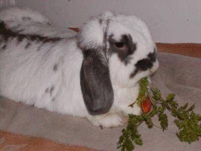 Rabbit Care Veterinary Partner Vin Rabbit Care Rabbit Service Animal