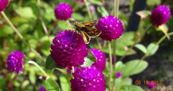 Purple Button Flowers Gardening Pinterest Button