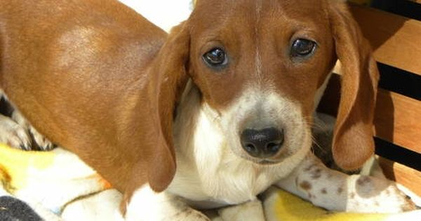 Little Bill Red Piebald Miniature Male Dachshund With Images Dachshund