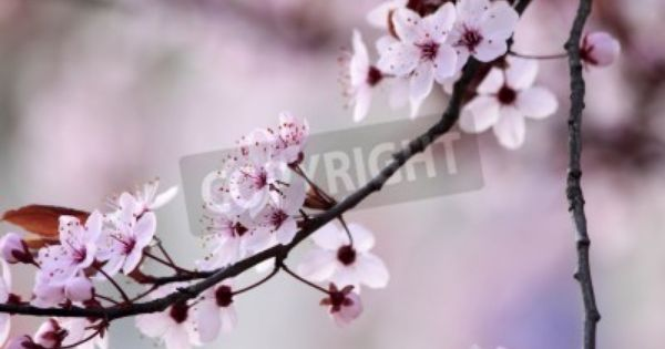 Japanese Cherry Blossoms In Mural Rf Images Japanese Cherry Blossom Blossom Cherry Blossom