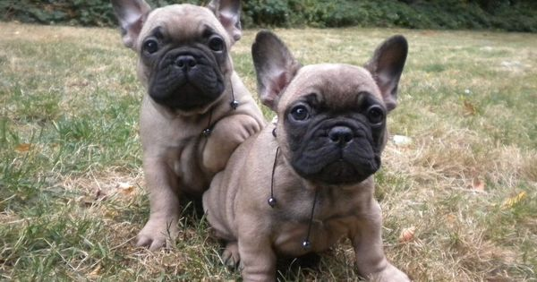 Black Mask Fawn French Bulldog Daily Dogs Puppies For Sale News