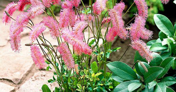 Sanguisorba Obtusa Japanese Burnet Plant Height 24 30