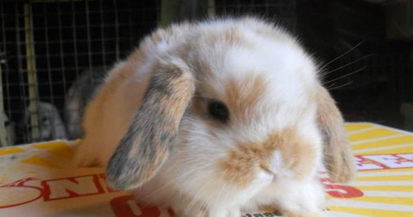 holland lop rabbits | BUNNIES...HOLLAND LOPS,LIONHEADS,MINI REX for sale in Sarnia, Ontario