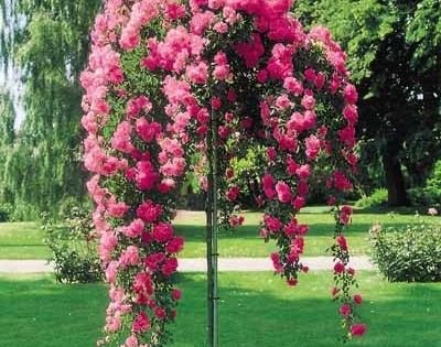 I really want one of these or two! Rose Tree, Weeping pink.