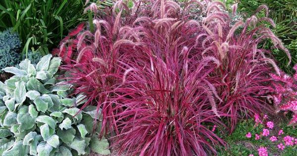 Amazing color for the fall landscape fountain grass and for Coloured ornamental grasses