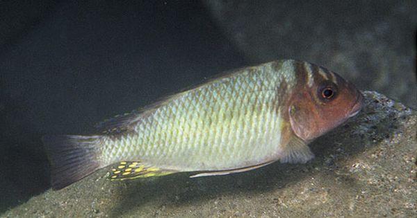 "Картинки по запросу Petrochromis orthognathus ""magara"""