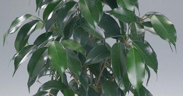 Ficus benjamina benjaminfikus gardening pinterest folhas - Ficus elastica cuidados ...