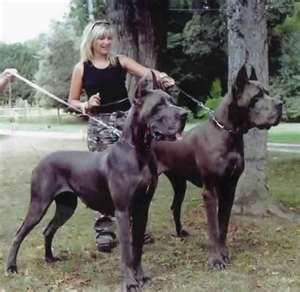 Wow Impressive These Danes Have Alot Of The Euro Bloodlines Nice With Images Great Dane Dogs Dane Dog Dane Puppies