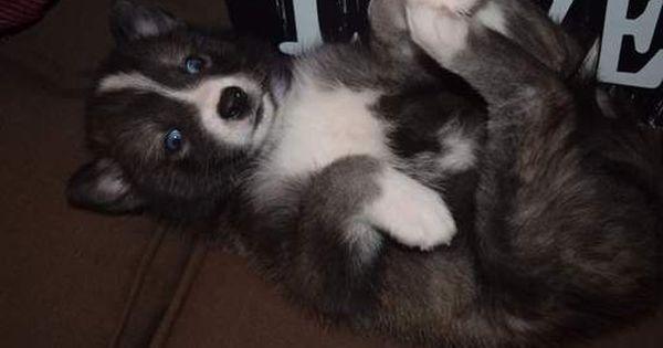Pomeranian Siberian Husky Mix Puppy For Sale In Mankato Mn Adn 22416 On Puppyfinder Com Gender Male Age 6 Puppies For Sale Husky Puppies For Sale Puppies