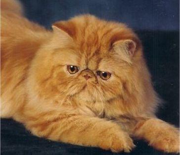 Persian Cats Cat Breeds Most Popular Cat Breeds Popular Cat Breeds