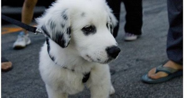 Pin By Allie Hinton On Dogs Lab Mix Puppies Australian Shepherd Lab Mix Australian Shepherd