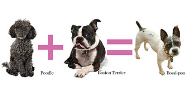 7 Designer Dogs You Ve Never Heard Of Dogs Boston Terrier