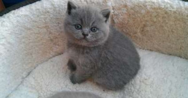 Long Hair Burmese Cat Age 3 To 6 Month Cat Breed British Longhair Fur