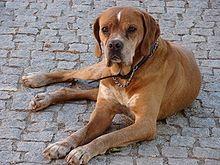 Portuguese Pointer A K A Perdigueiro Portugues Portugal Hunting Dog Breeds Rare Dog Breeds Large Dog Breeds