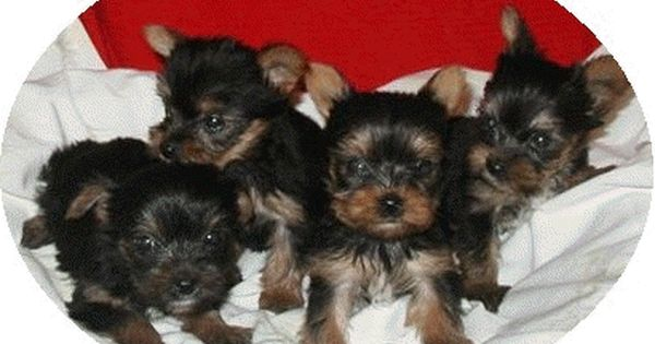 Yorkie Puppies Teacup Yorkie Puppies For Sale Houston Tx Yorkie Puppy For Sale Teacup Yorkie Puppy Yorkie Puppy