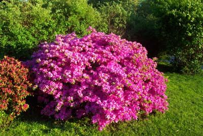 How To Grow Azalea Azalea Bush Care The Gardener S Network Plants Azalea Bush Lawn And Garden
