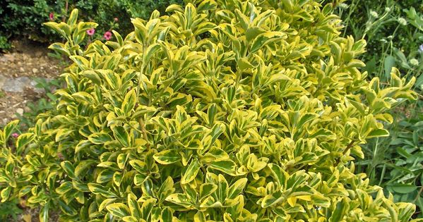 Golden euonymus to 6 39 tall evergreen variegated green and for Tall evergreen shrubs