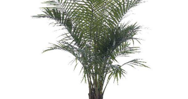 Palmier majesty plantes tropicales pinterest les for Plantes tropicales exterieur