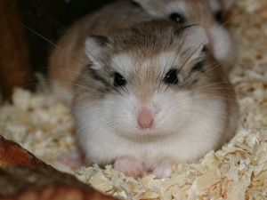 Hi There My Name Is Charlie I Am A 9 Month Old Female Roborovski
