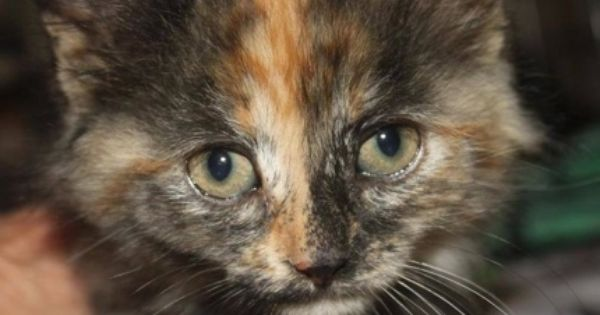 This Little Girl Is About 5 Weeks Old And Was Rescued From A Dumpster At A Local Business Along With Her Siblings Tortie Kitten Kitten Adoption Cat Adoption