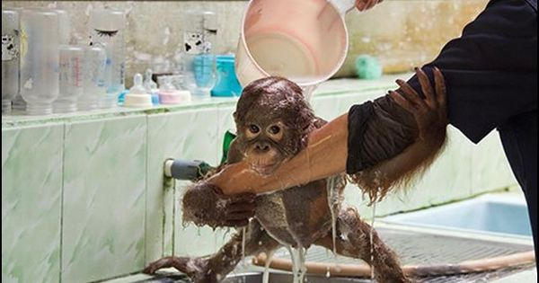 baby orangutan getting a bath. check out how he's using ...