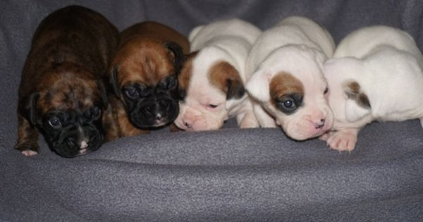 Litter Of 8 Boxer Puppies For Sale In Denver Co Adn 22971 On Puppyfinder Com Gender Male S And Female Boxer Puppies For Sale Puppies For Sale Boxer Puppies