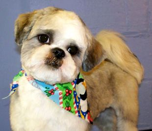 I Love Shih Tzu S With Shaved Ears Canine Grooming Dog Grooming Styles Dog Haircuts