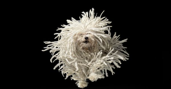 Flying Mop - Tim Flach http://www.popartuk.com/photography/tim-flach/flying-mop-pp33121-poster.asp Mop Dog TimFlach Photography