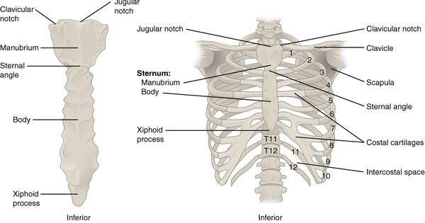 The Thoracic Cage; Ribs (1-7 true ribs), (8-12 false ribs ...