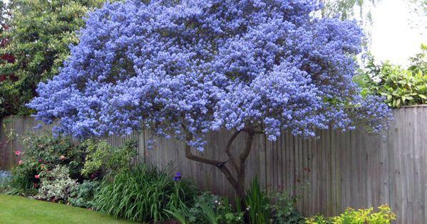 Ceanothe en fleurs arbres arbustes plantes for Arboles de sombra para jardin