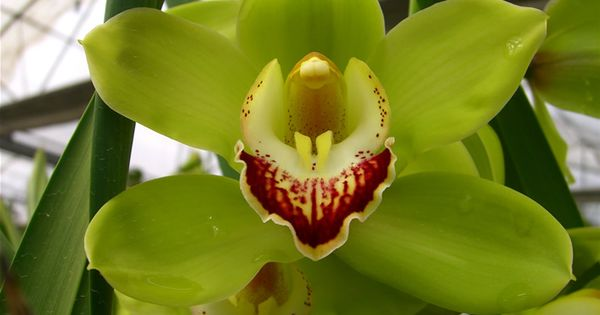 Green Orchid Green Cymbidium Orchid Picture Photo 1071 Image Size 800 X 600 Cymbidium Orchids Orchids Green Orchid