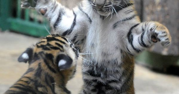 baby tiger cubs so cute