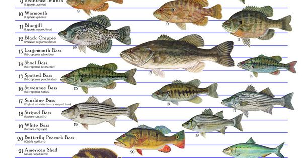 Florida 39 s freshwater fishes environmental education for Florida freshwater fish species