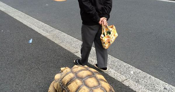 Worlds Most Patient Pet Owner Pics Pinterest - Man walks pet tortoise through tokyo