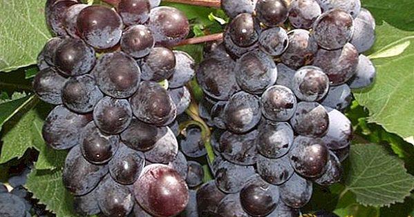 أصناف العنب غير المكشوف الوصف الصورة الخاصية الحديقة In 2020 Grapes Vines Fruit