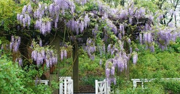 Robot Check Wisteria Wisteria Arbor Flowering Vines
