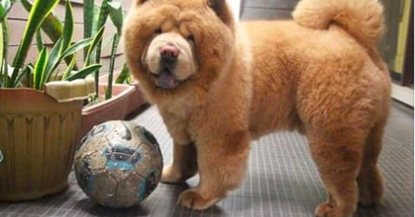 Look At This Adorable Dog Who Looks Like A Bear Cute Dogs Dogs