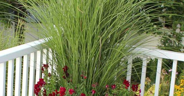 Best ornamental grasses for containers gardens for Ornamental grass in containers for privacy