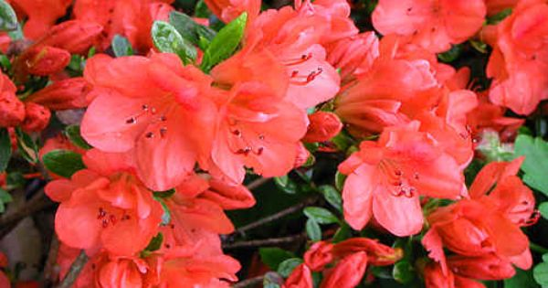 Azalea Geisha Orange Blooms In Late Winter To Early Spring Needs Shade To Partial Shade And Moist Acidic Soil Water About 1 Azaleas Orange Cups Plants