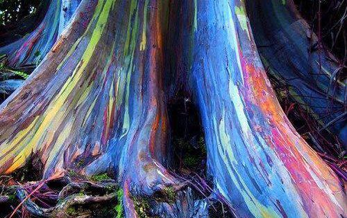 Rainbow Eucalyptus trees on Maui, Hawaii. JanaCreativity rainboweucalyptus earthmagic www.creativespiritawakening.com