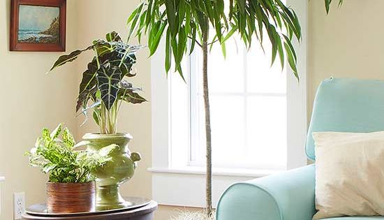 Indoor trees that spruce up any space indoor trees low for Low maintenance indoor trees